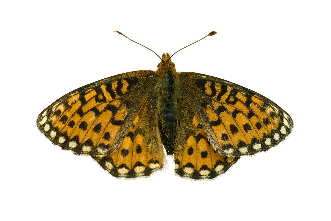 Variegated Fritillary  - dorsalEuptoieta claudia