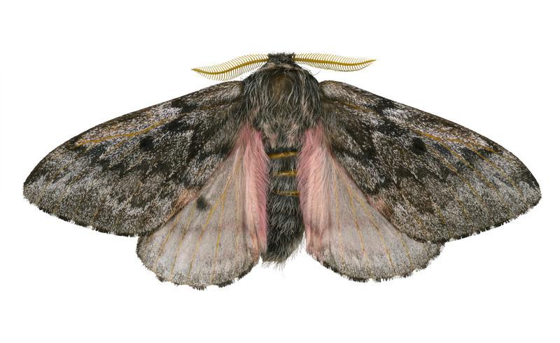 Pandora Moth  - dorsalColoradia pandora