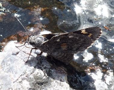 Arizona Giant-SkipperAgathymus aryxna