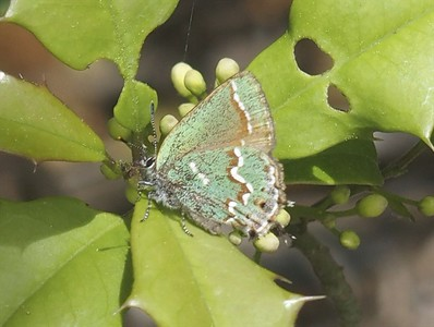 Juniper Hairstreak	Callophrys gryneus