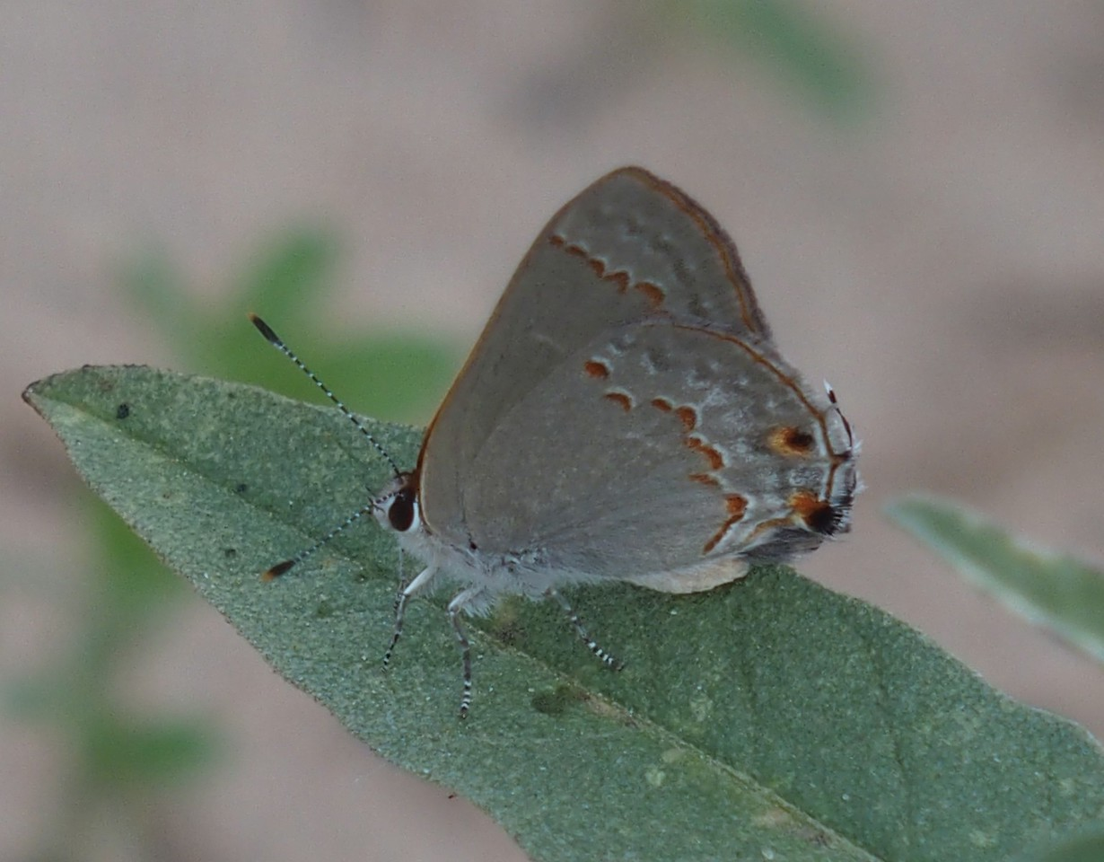 Red-crescent Scrub-Hairstreak	Strymon rufofusca