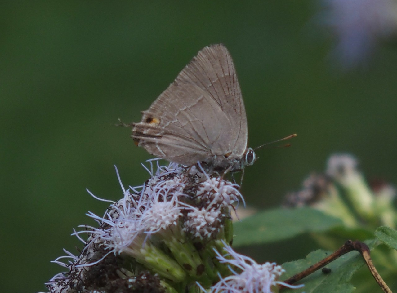 Marius Hairstreak	Rekoa marius