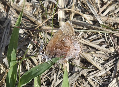 Frosted Elfin	Callophrys irus