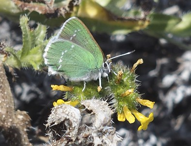 Coastal Green Hairstreak	Callophrys dumetorum