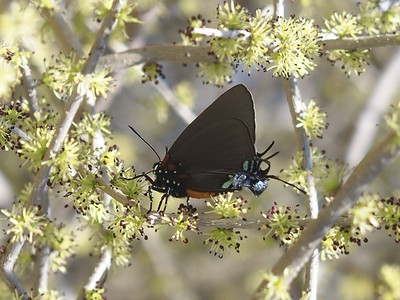 Great Purple Hairstreak	Atlides halesus