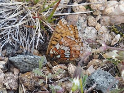 Purplish FritillaryBoloria montinus