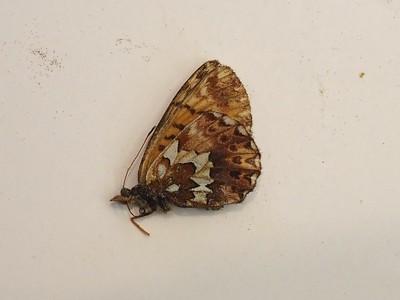 Arctic FritillaryBoloria chariclea