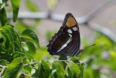 Arizona SisterAdelpha eulalia