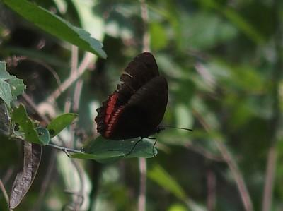Red RimBiblis hyperia