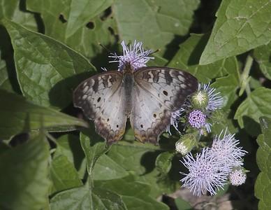 White PeacockAnartia jatrophae