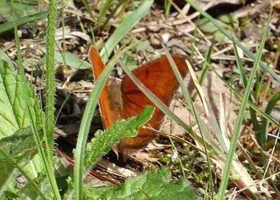 Goatweed LeafwingAnaea andria
