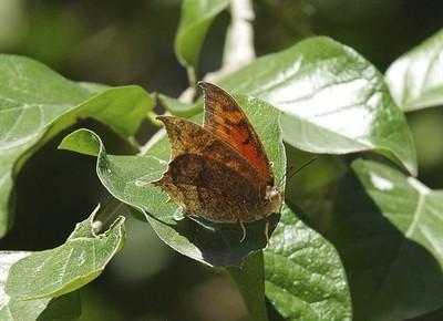 Tropical LeafwingAnaea aidea