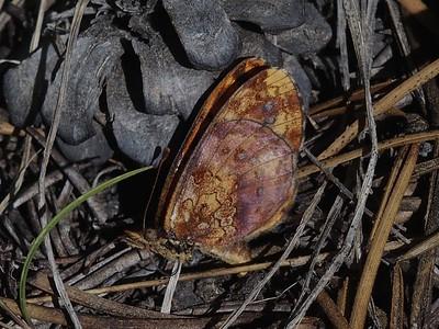 Pacific FritillaryBoloria epithore