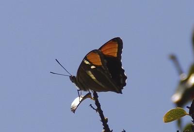 California SisterAdelpha bredowii