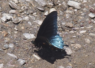 Pipevine Swallowtail	Battus philenor
