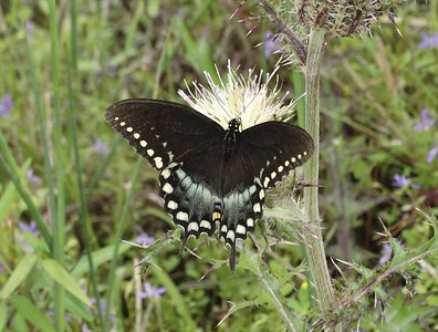 Spicebush SwallowtailPapilio troilus