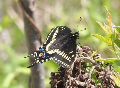 Black SwallowtailPapilio polyxenes