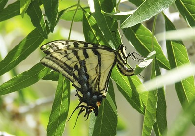 Two-tailed Swallowtail	Papilio multicaudata