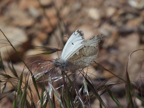 Gray MarbleAnthocharis lanceolata