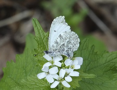 Falcate Orangetip	Anthocharis midea