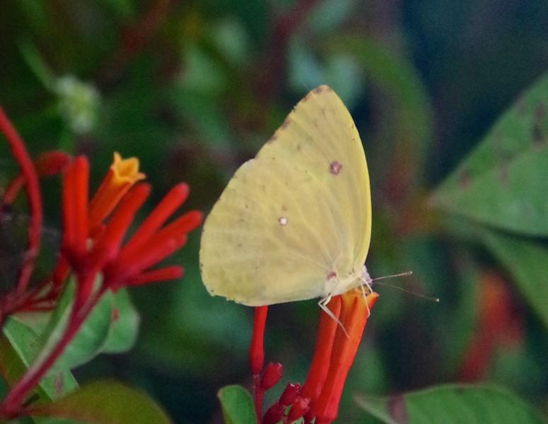 Pink-spot SulphurAphrissa neleis