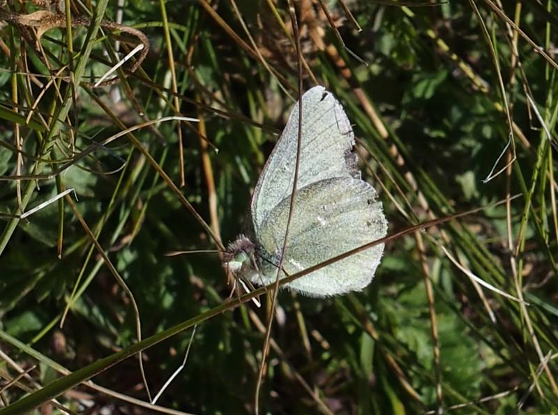 Sierra SulphurColias behrii