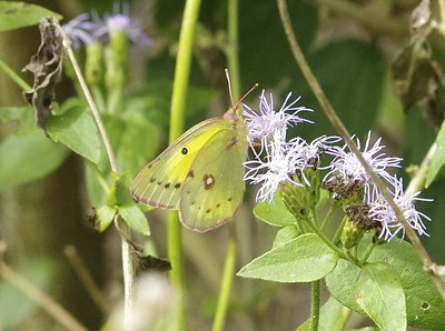 Orange Sulphur	Colias eurytheme
