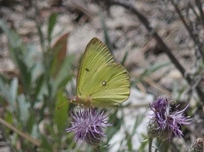 Western SulphurColias occidentalis