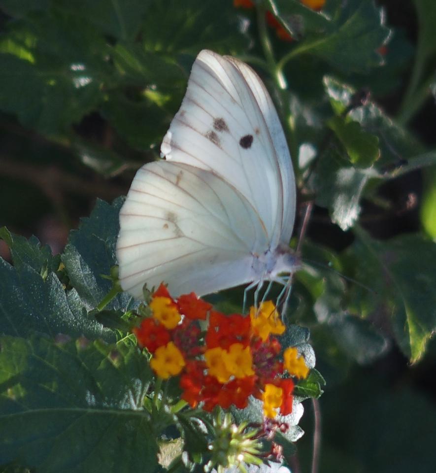Giant WhiteGanyra josephina