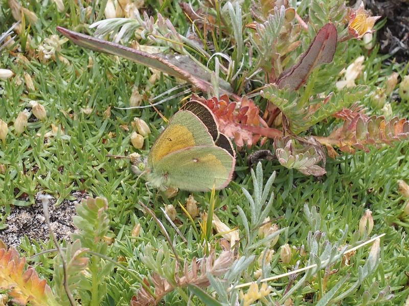Mead's SulphurColias meadii