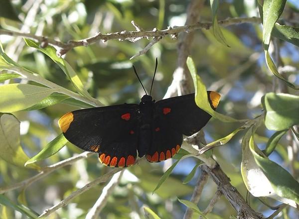 Red-bordered PixieMelanis pixe