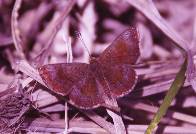 Arizona Metalmark	Calephelis arizonensis