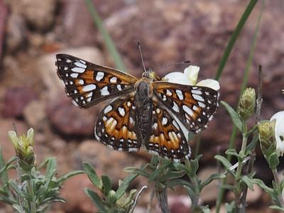 Sonoran MetalmarkApodemia mejicanus