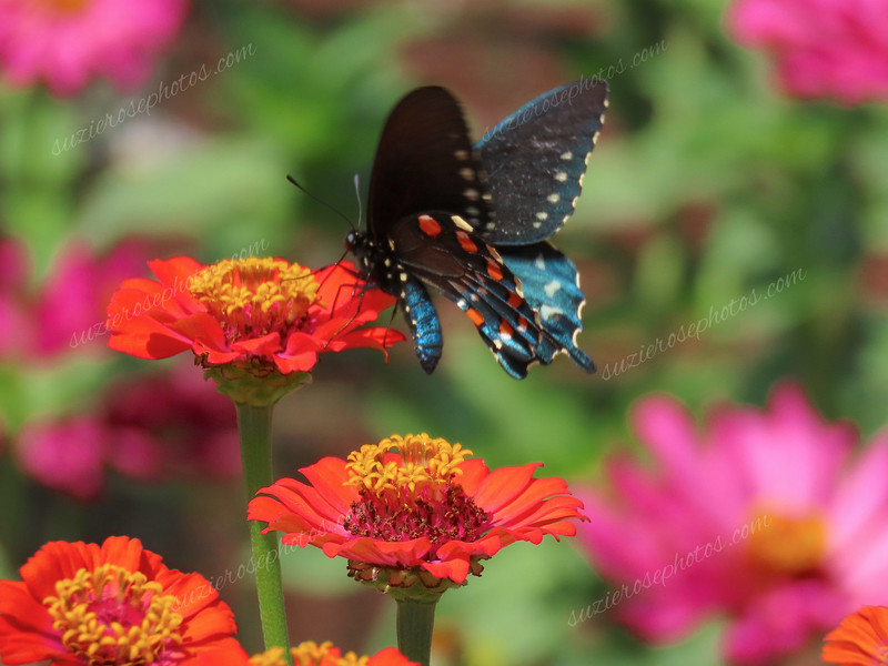 Pipevine Swallowtail feeds on Zinnia