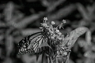 I'm Highlighted LLC - Butterfly-2371-2
