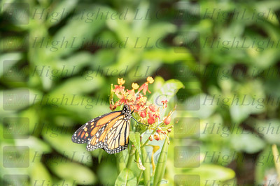 I'm Highlighted LLC - Butterfly-2369