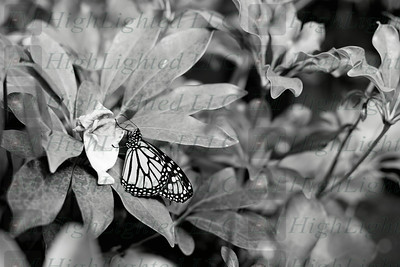 I'm Highlighted LLC - Butterfly-2582