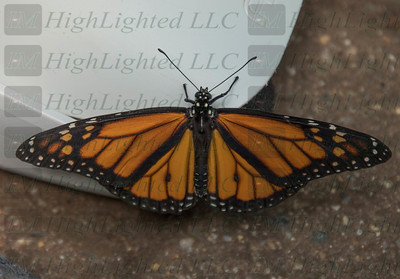 I'm Highlighted LLC - Butterfly-2378