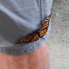 Somehow this beautiful butterfly  likes to stay at this gentleman's pant before eventually flew off !
