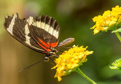 Butterfly Wonderland Scottsdale 4 July 2014   013