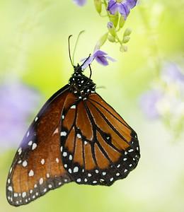 Butterfly Wonderland Scottsdale 4 July 2014   019