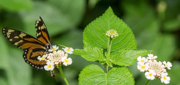 Butterfly Wonderland Scottsdale 4 July 2014   008