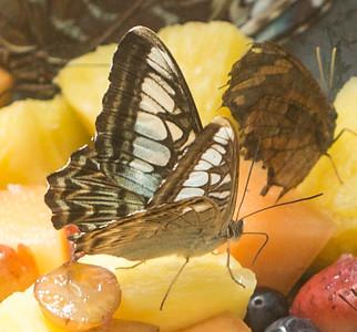 Butterfly Wonderland Scottsdale 4 July 2014   028