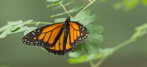 Butterfly Wonderland Scottsdale 4 July 2014   022