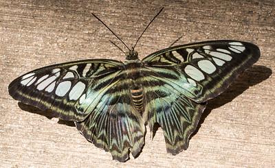 Butterfly Wonderland Scottsdale 4 July 2014   017
