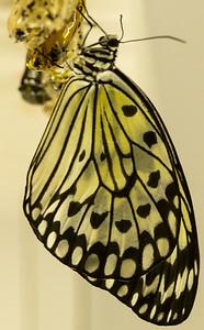 Butterfly Wonderland Scottsdale 4 July 2014   002