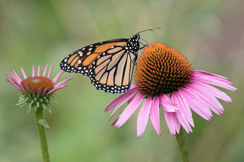 This Monarch butterfly was hanging out in Central Park in Leominster on Thursday, July 18, 2019. SENTINEL & ENTERPRISE/JOHN LOVE