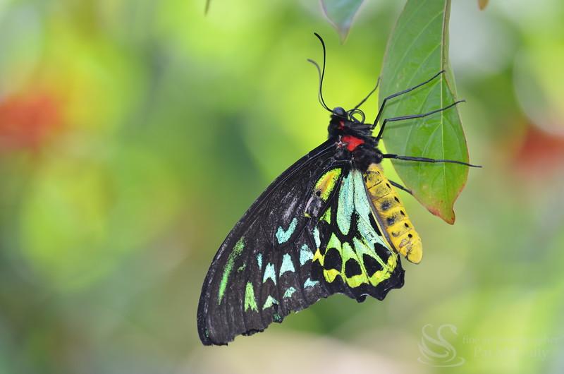 Malochite Butterfly