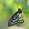 Malochite Butterfly
