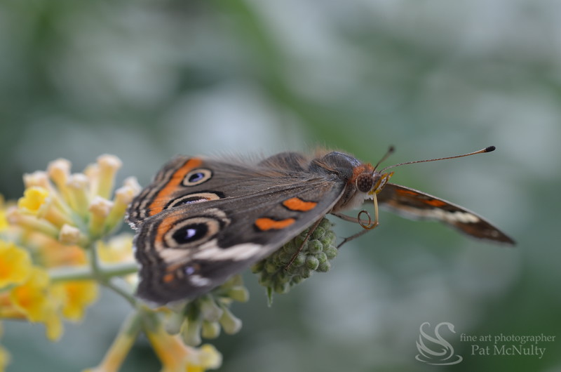 Blue Morpho Butterfly Picture